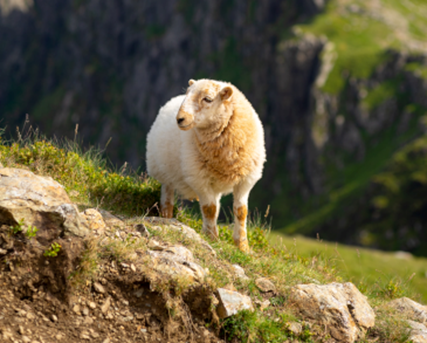 Sheep in Snowdonia